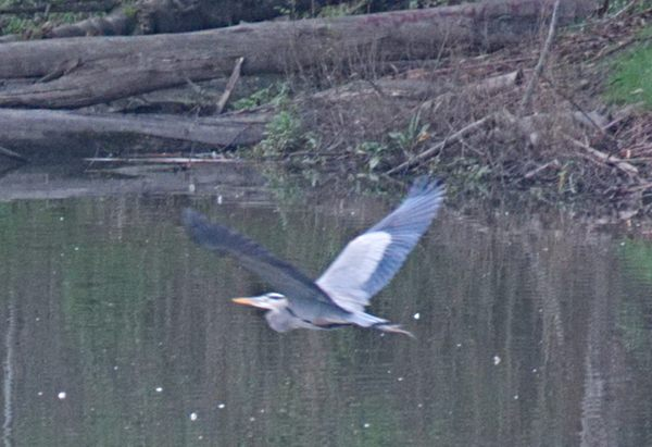 blue heron at Don Castro Regional Park