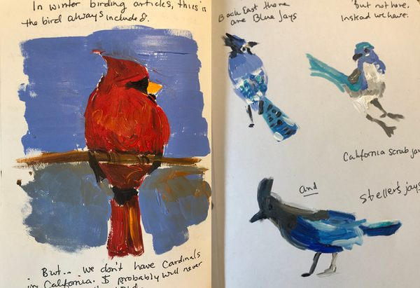 Painted sketches of a cardinal, blue jay, California scrub jay, and Steller's jay