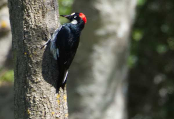 Female acorn woodpecker